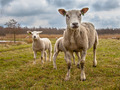 White Sheep Family - PhotoDune Item for Sale