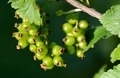 Green currant - PhotoDune Item for Sale