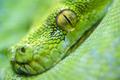 Green tree python - PhotoDune Item for Sale