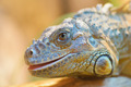 Green iguana - PhotoDune Item for Sale