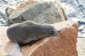 Narooma Seal - PhotoDune Item for Sale