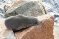 Narooma Seal - PhotoDune Item for Sale