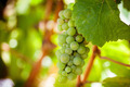Grapevine - PhotoDune Item for Sale