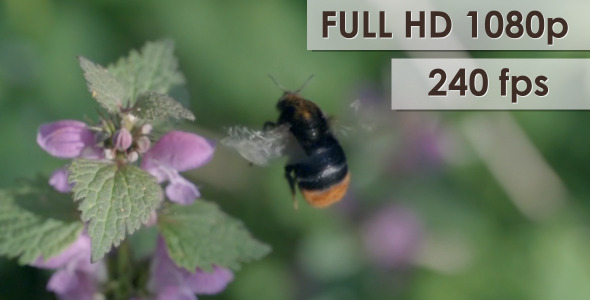 Bumblebee On Flower 2