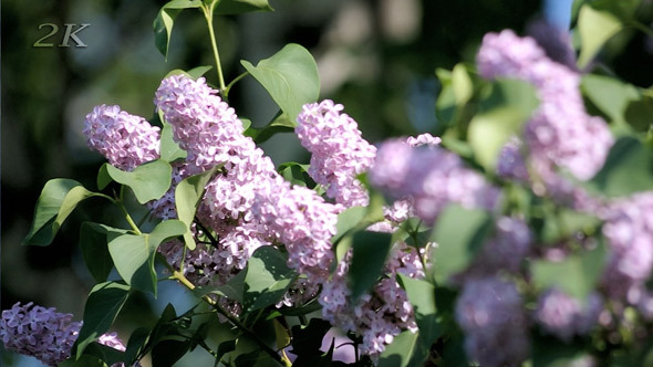 Lilac Bush in Park