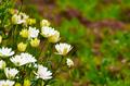 white daisy - PhotoDune Item for Sale