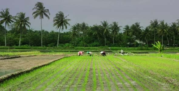 Agriculture Workers On Rice Field In Bali 2