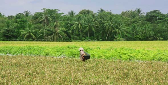 Agriculture Workers On Rice Field In Bali 8