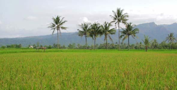 Beautifful Rice Fields In Bali 1