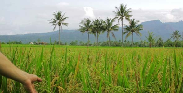 Beautifful Rice Fields In Bali 2
