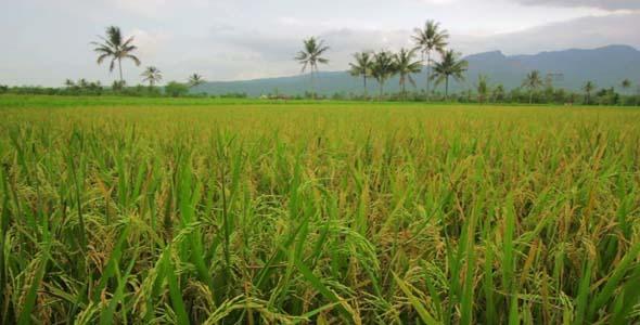 Beautifful Rice Fields In Bali 3