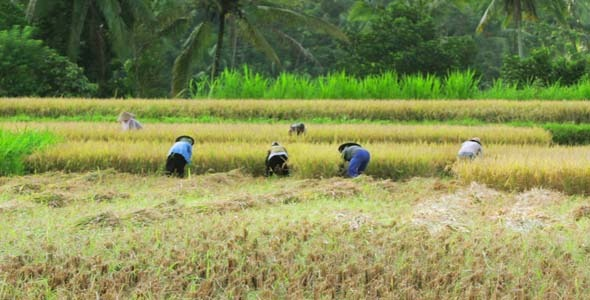 Agriculture Workers On Rice Field In Bali 10