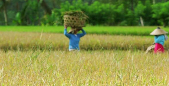 Agriculture Workers On Rice Field In Bali 11