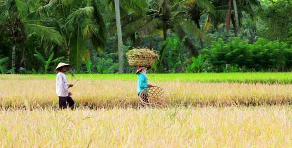 Agriculture Workers On Rice Field In Bali 13