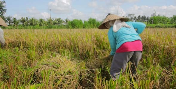 Agriculture Workers On Rice Field In Bali 21