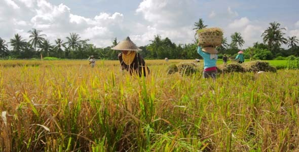 Agriculture Workers On Rice Field In Bali 22