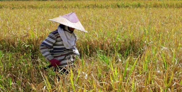 Agriculture Workers On Rice Field In Bali 28