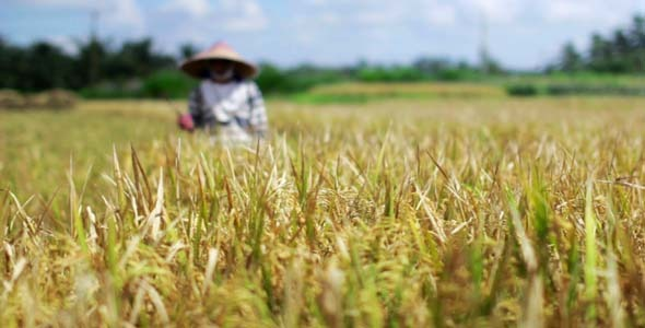 Agriculture Workers On Rice Field In Bali 32