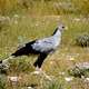 Secretary Bird - PhotoDune Item for Sale