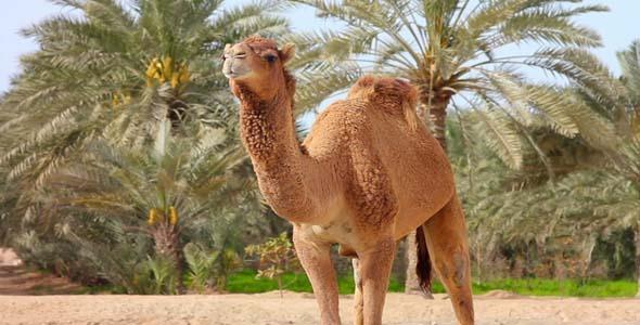 Camel In Desert 2