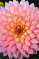 Pink and yellow dahlia flower - PhotoDune Item for Sale