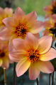 Coral colored dahlia flowers - PhotoDune Item for Sale