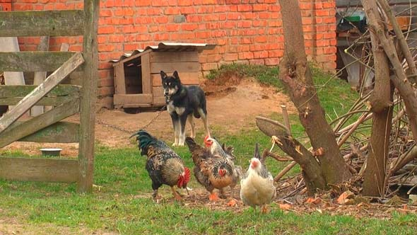 Chickens In The Yard 1
