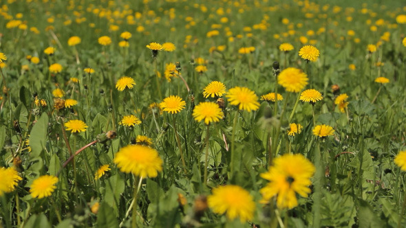 Meadow With Yellow Flowers Of Dandelions