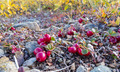 Cranberries Vaccinium vitis-idaea alpine plants - PhotoDune Item for Sale