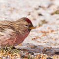 Common redpoll Carduelis flammea winter feeding - PhotoDune Item for Sale