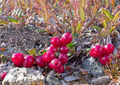 Alpine tundra cranberries Vaccinium vitis-idaea - PhotoDune Item for Sale