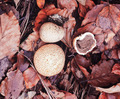 Common Earth Ball Scleroderma citrium mushrooms - PhotoDune Item for Sale