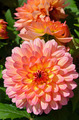 Beautiful pink dahlia flowers - PhotoDune Item for Sale