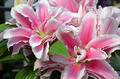 Pink stargazer lilies - PhotoDune Item for Sale