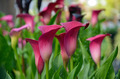Pink calla lily flowers - PhotoDune Item for Sale
