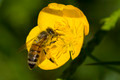 Bee on yellow flower with pollen - PhotoDune Item for Sale