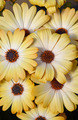 Yellow osteospermum flowers - PhotoDune Item for Sale