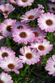 Purple osteospermum flowers - PhotoDune Item for Sale