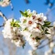 almond flowers - PhotoDune Item for Sale