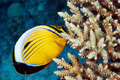 Blacktail Butterflyfish - PhotoDune Item for Sale