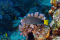 Spotted wrasse - PhotoDune Item for Sale