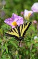 Black and yellow swallowtail butterfly - PhotoDune Item for Sale