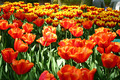Tulip Garden - PhotoDune Item for Sale