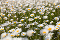 Camomile meadow - PhotoDune Item for Sale