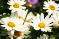 Daisy flowers background - PhotoDune Item for Sale