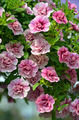 Little pink spring petunias - PhotoDune Item for Sale