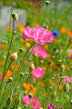 Beautiful pink spring poppies - PhotoDune Item for Sale