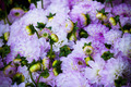 Beautiful violet dahlias flowers close up background - PhotoDune Item for Sale
