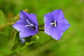 pair of flowers of bluebells - PhotoDune Item for Sale