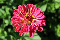 zinnia zed beautiful flower - PhotoDune Item for Sale